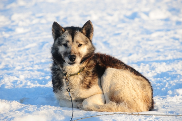 Husky relaxing on the ice at minus 40